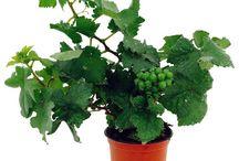 Pixie Grapes