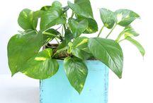 plantes intérieures purifiantes