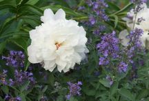Paeonia Combinations / Plant partnerships that include peonies