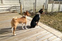Basenji / Kaikenlaisia kuvia Basenji rotuisista koirista. #basenji #dogs #koira