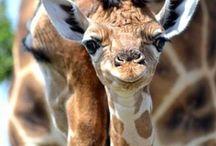 Oud en jong; giraffes / oudergiraffes met hun jong