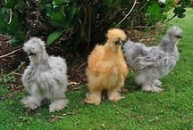 My chickens! / Everything chicken!!!!!