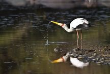 #birdlifeimages / Photos of birds seen at work and travel in Southern Africa