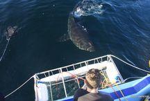 Great white shark trips