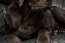 Labrador čokoládový :-)