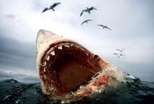 Shark Badassery / STOP SHARK FINNING! / by Kristin McHenry