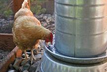 Raising Charming Chickens