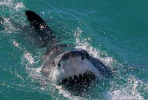 Kelly Baker / Amazing shark pictures by one of our on board Marine Biologist.