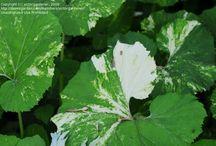 Pétasites et Tussilage / plantes qui fleurissent en hiver avant l'apparition des feuilles rondes, parfois énormes, qui poussent n'importe où, et prennent l'allure d'exotiques en présence d'eau....
