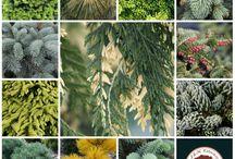 Iglaste Conifers