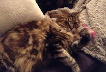 My lovely cat Bloom / Maine coon