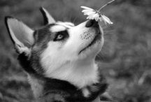 Siberian husky's