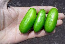 Treating diabetes with fruits (Averrhoa bilimbi, Kamias, bilimbi, cucumber tree, tree sorrel)