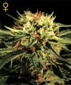 Pick and Mix Cannabis seeds - LOW Prices + Reliable Shipping