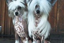 Chinese Crested - THE BEST / My love for Chinese Crested dogs.