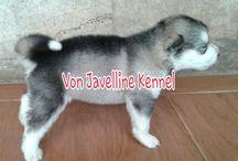 Jual Anjing Alaskan Malamute (Von Javelline  Kennel)