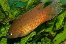 Budidaya Ikan Ekor Sikat (Combtail Paradisefish)