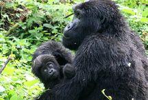 Gorilla Trek Uganda 2011