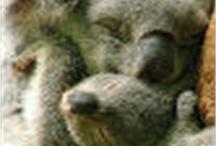 koalas / by Andrea Kostelić