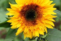 Sunflowers / by Kristin Nicholas Designs