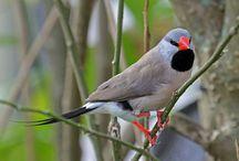 Pásovník dlouhoocasý - Poephila acuticauda - Long-tailed Finch