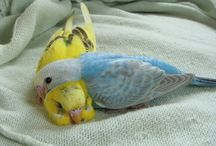 Budgies / Wellensittiche