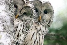 Miscellanious / Beautiful winter owls
