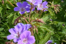 Flowers I 'picked' in my travels... purple and blue