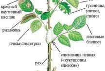 Розы садовые / розы черенкование,укрытие, подкормки, агротехника