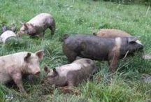 Farm: This Little Piggy