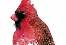 Red cardinal watercolor bird art watercolor prints / Bird art high quality watercolor paints from professional grade watercolor artist.