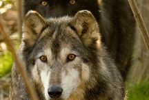 wolf 2 / by Iveta