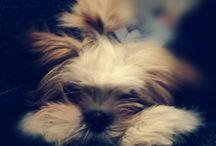 puppy Leone Lhasa Apso