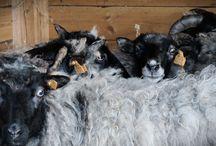 Owce na Wygonie / Owce wrzosówki i kameruńskie w Siedlisku na Wygonie na Mazurach