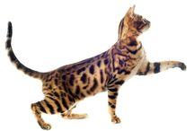 De oude kat / Oudere katten verdienen een speciale plaats in ons hart. De jarenlange opgebouwde eigen maniertjes, die ons soms ook tot wanhoop kunnen brengen, maar oh zo aandoenlijk en vertederend wanneer de jaren beginnen te tellen.