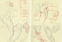 Anatomy - Human