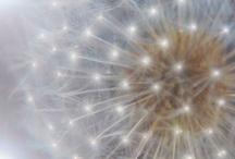 Make a wish! / Dandelion Motif evokes a childlike whimsy. / by Joy Light