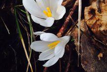 Crocus albiflorus (new) / Zafferano alpino. Zafferano selvatico.