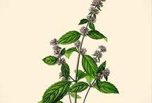 herbalistinspirationdrawing