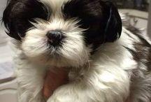 Shih Tzu puppies / by L Thomas