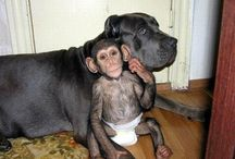 Chimpanzee Baby Adopted By A Mastiff Dog / After a chimapnzee baby was abandoned by its mom in one of the Russia's zoo it was adopted by a mastiff dog. / by Hajnalka Horváth