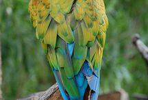 Hibrid Macaw
