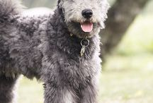 pumi and australian cattledog