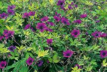 Blooms Every Year / Colorful, easy to plant and hassle free, blooms every year. Flower power your garden with American Meadows perennials / by Charlotte Addison