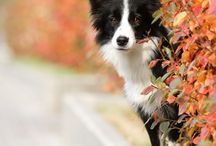 border collie autumn