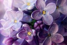 Bloemen / Sering