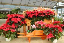 Christmas / Christmas trees, poinsettias and more!