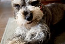 My Sweet Dylan B / Funny, cute things that remind me of my loveable schnauzer Dylan.