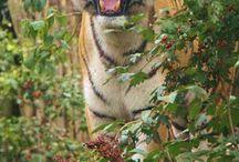 TIGER / 호랑이 호랑이