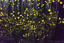glowfly / ヒメホタル Hime_hotaru  Hime glow fly